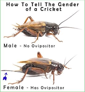 How to Tell Cricket Gender