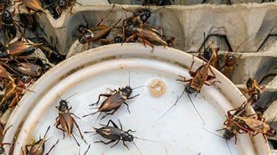 Cricket Habitat